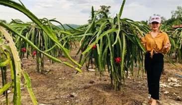 """Kỹ thuật trồng Thanh Long để thu lợi nhuận """"cực khủng"""""""