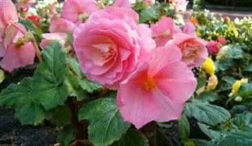 hoa hải đường