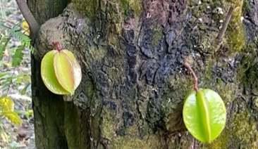 sâu đục thân hại cây khế