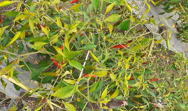 Cây ớt bị vàng lá do diệt độ thấp