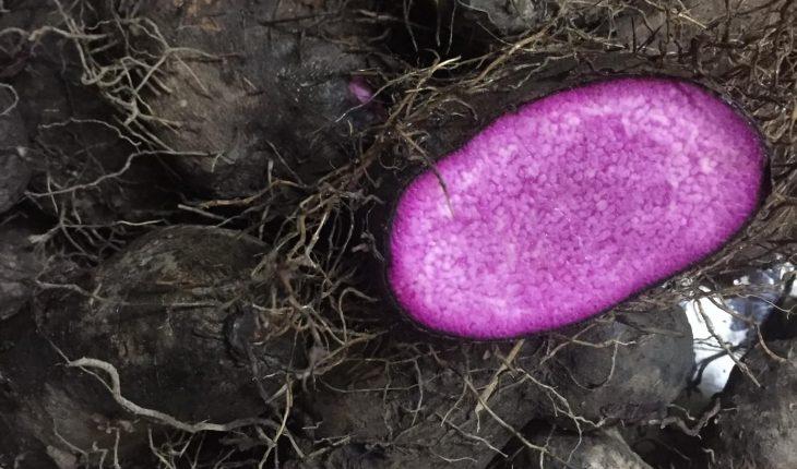 Cách trồng khoai mỡ cho năng suất