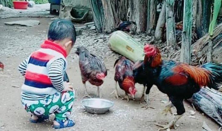 Cho gà ăn uống nước tỏi