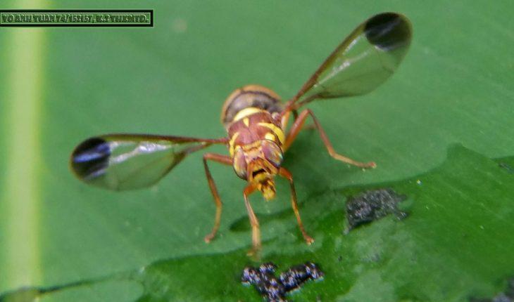 ruồi đục trái