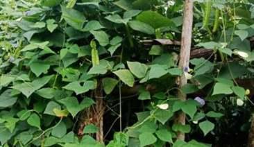 cây đậu rồng