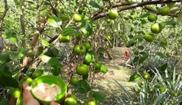 cây táo thối rễ