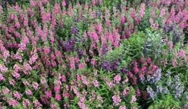 hoa violet nhật