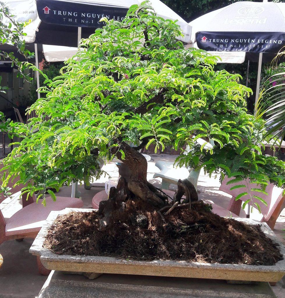 Trồng cây me bonsai