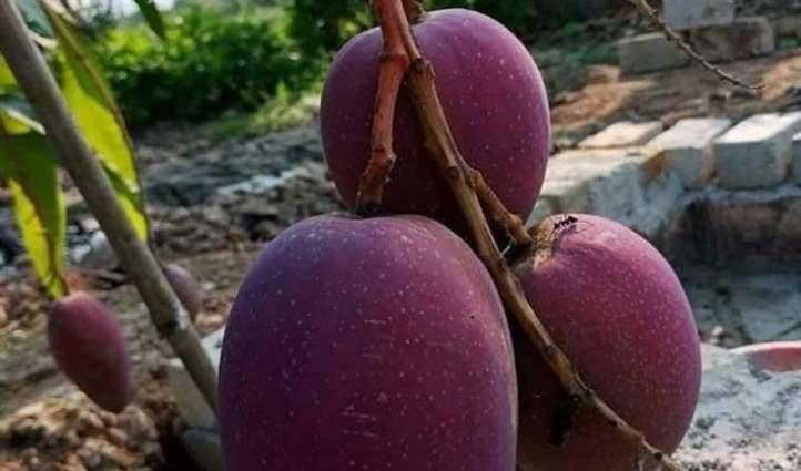 Cây xoài chiết sau 1 năm cho sai quả