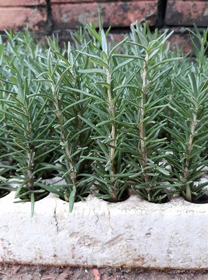 Cây hương thảo giống
