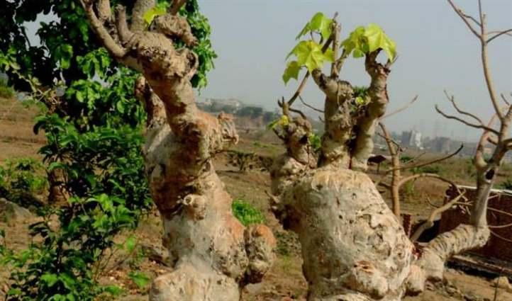 cây ngô đồng