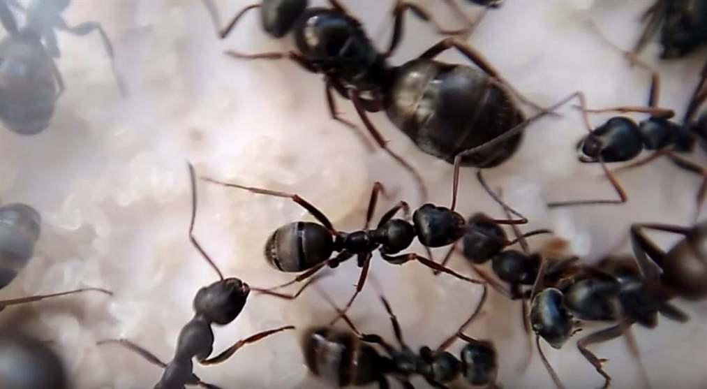 Trứng kiến gai đen