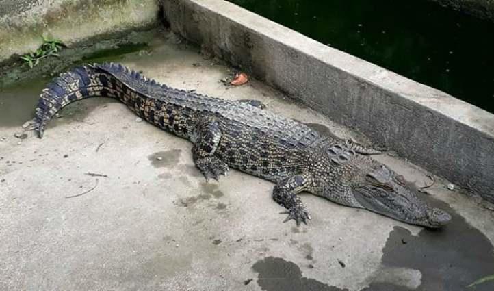 Nuôi cá sấu