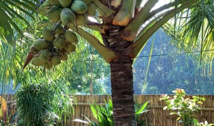 cây dừa không đậu quả