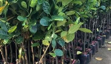 cây mít vàng lá