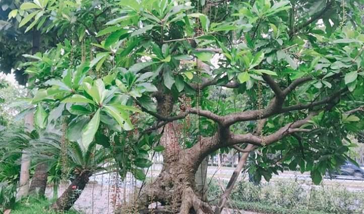 cây lộc vừng bonsai