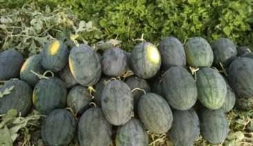 Ruộng dưa hấu