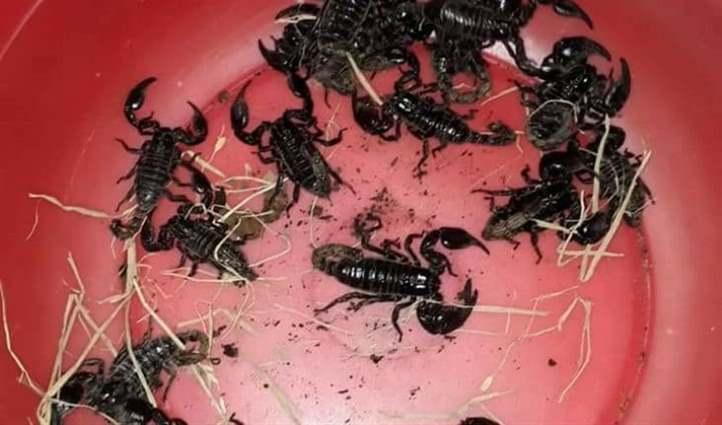 nuôi bọ cạp
