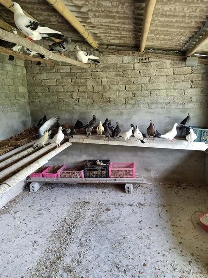 Chuồng nuôi chim bồ câu