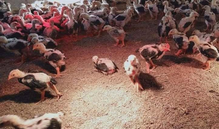 nhu cầu dinh dưỡng của gà