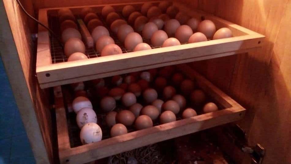 trứng chim trĩ đỏ