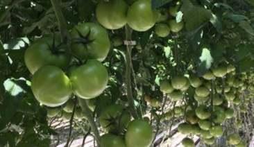 trồng cà chua
