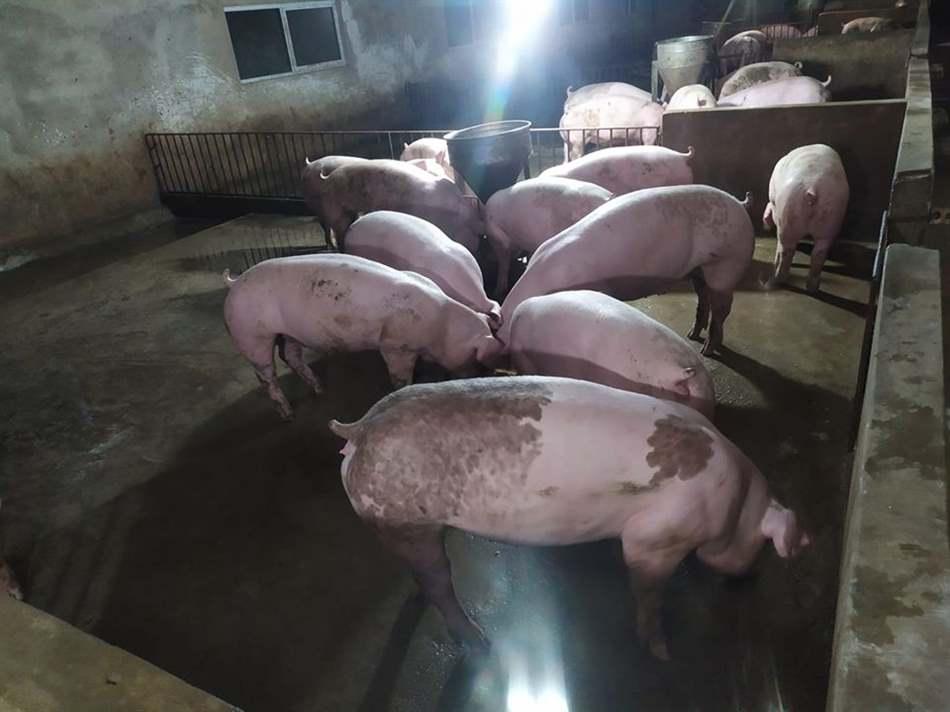 lợn con ăn cám