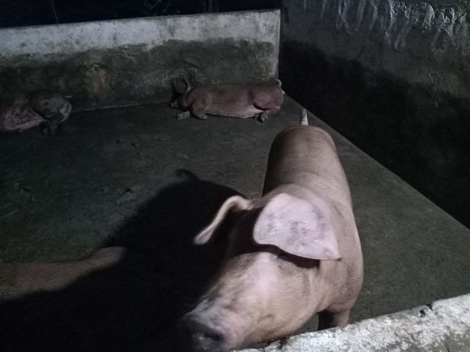 các giống lợn ngoại