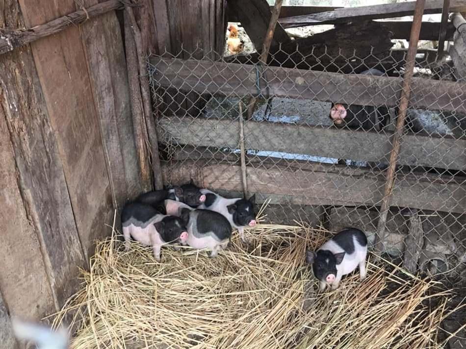 lợn con ăn sớm