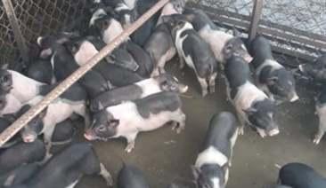 chăm sóc lợn con