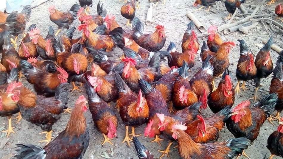 phòng bệnh cho gà