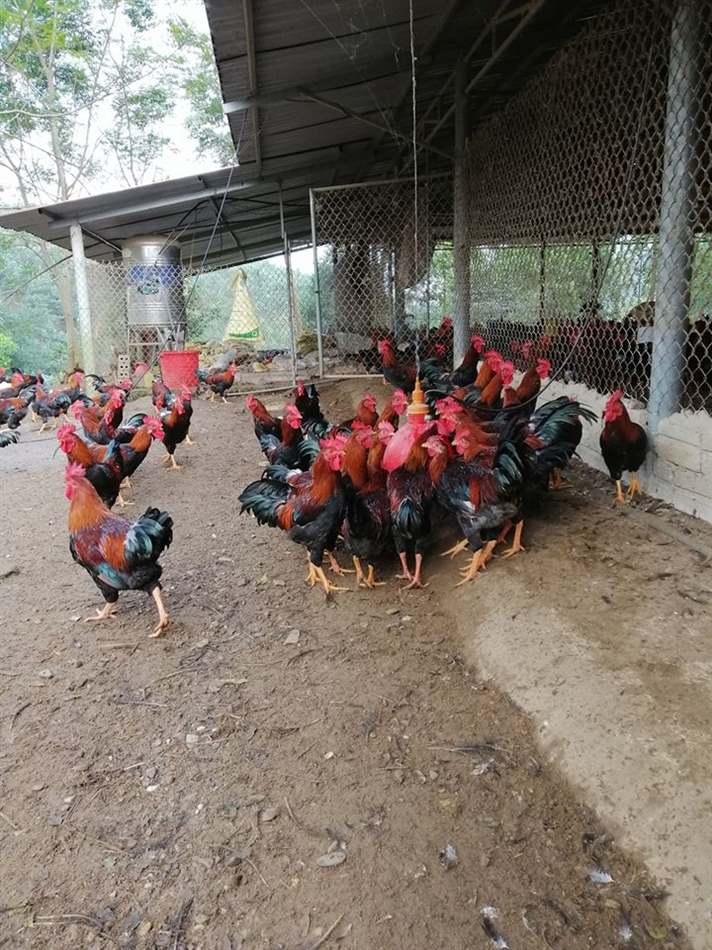 ủ bã đậu nành cho gà ăn