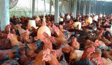 sử dụng tỏi và vitamin cho gà ăn