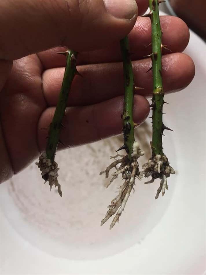 Rễ trắng đã ra dài 1-2cm