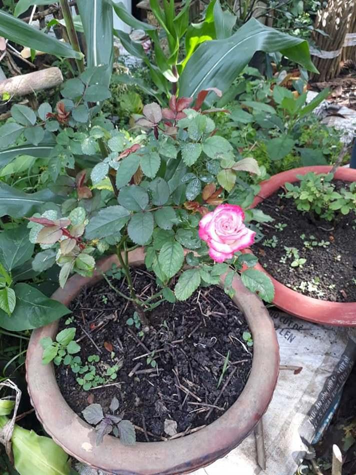 hoa hồng bị xoăn lá