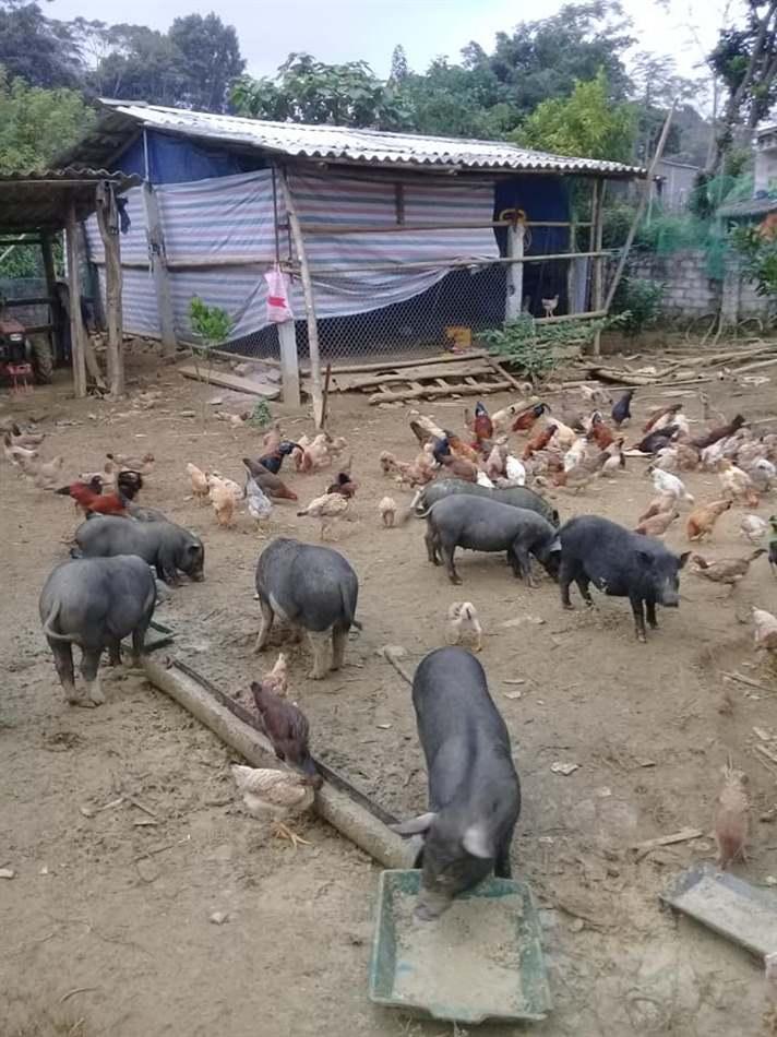 lợn rừng Việt Nam
