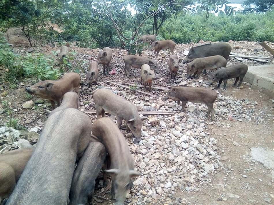 nuôi lợn rừng