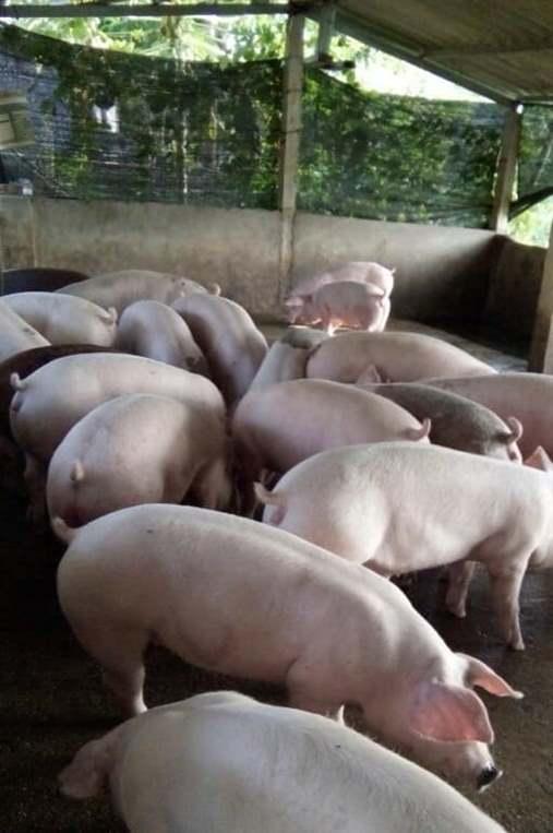 lợn mệt mỏi