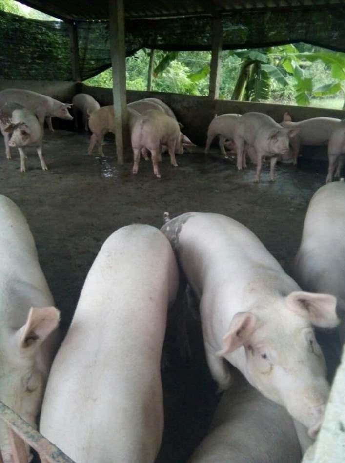 lợn bị run chân