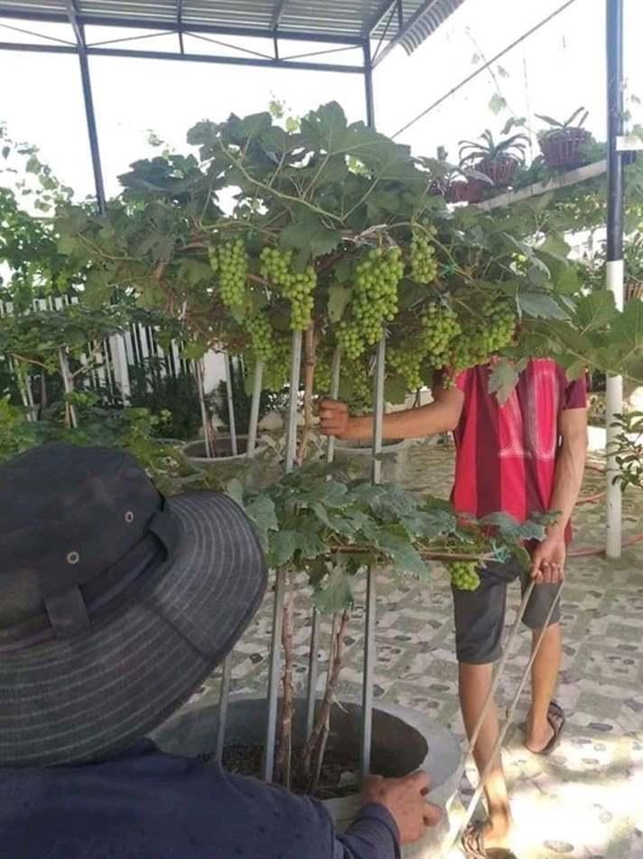 trồng nho trong chậu
