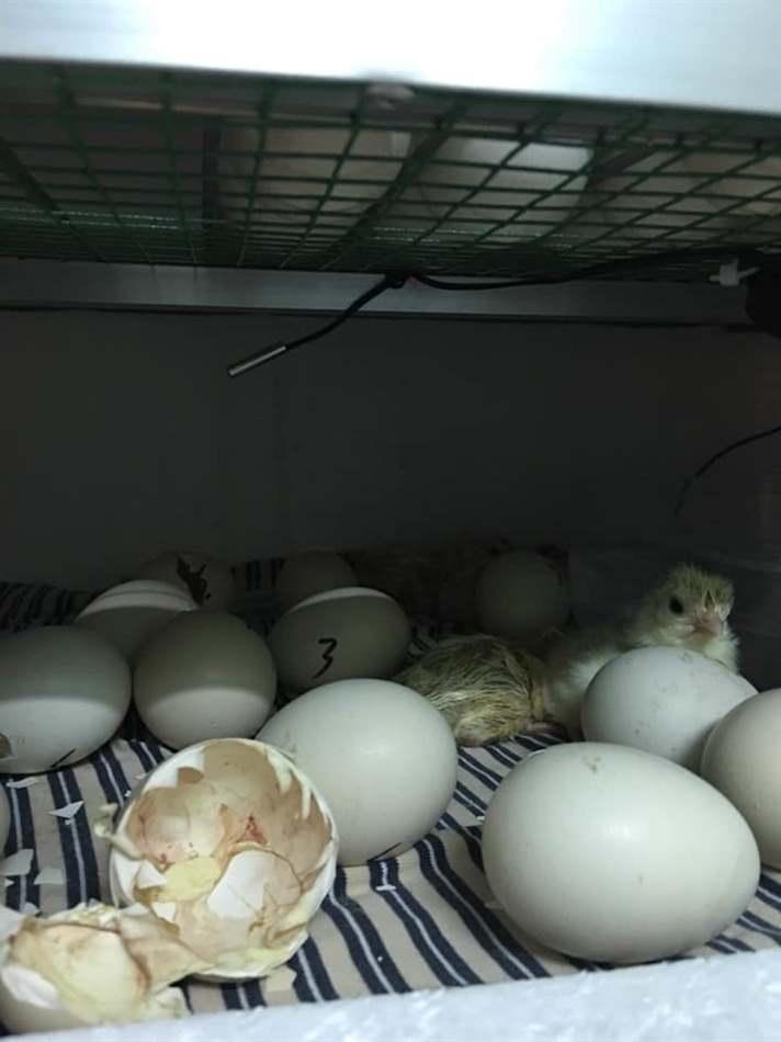 nuôi gà công nghiệp