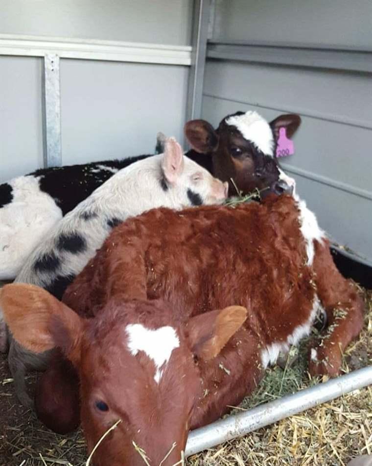 bò bị ngộ độc phân ure