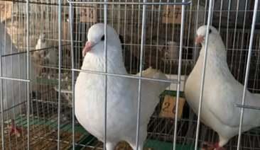 trị bệnh rụng lông ở chim bồ câu