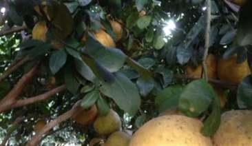 Diệt kiến bám trên cây bưởi