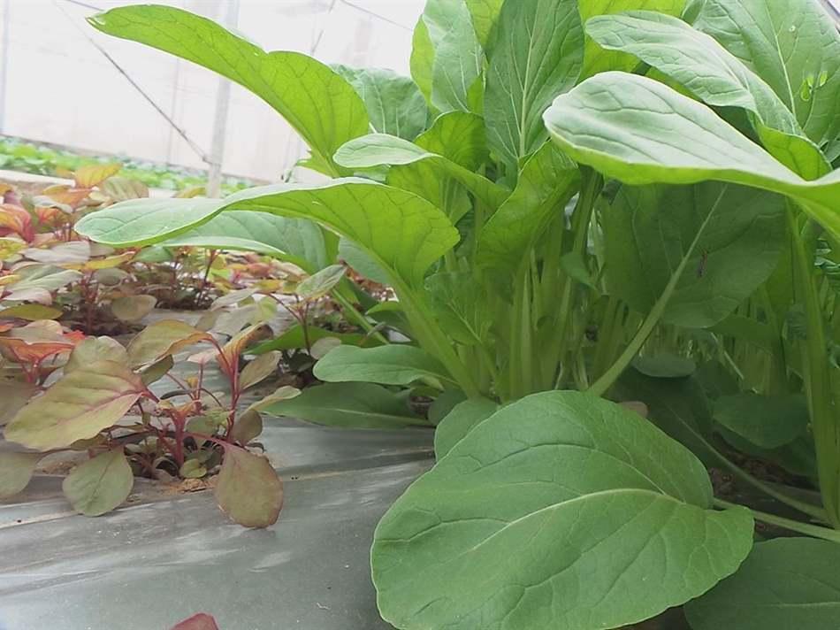 bọ nhảy gây hại vườn rau cải ngọt