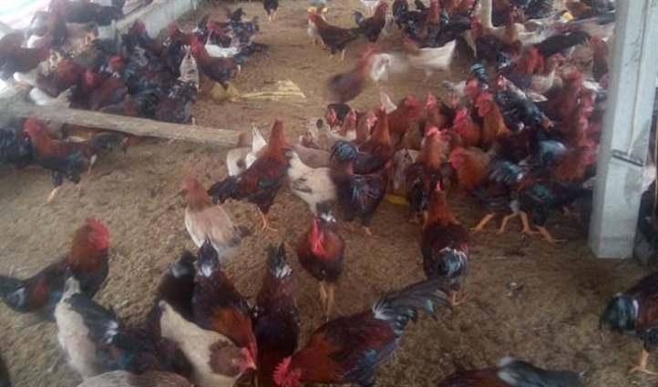 phối trộn thức ăn từ giun quế cho gà