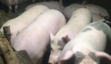 Tiêm Oxytocin cho lợn