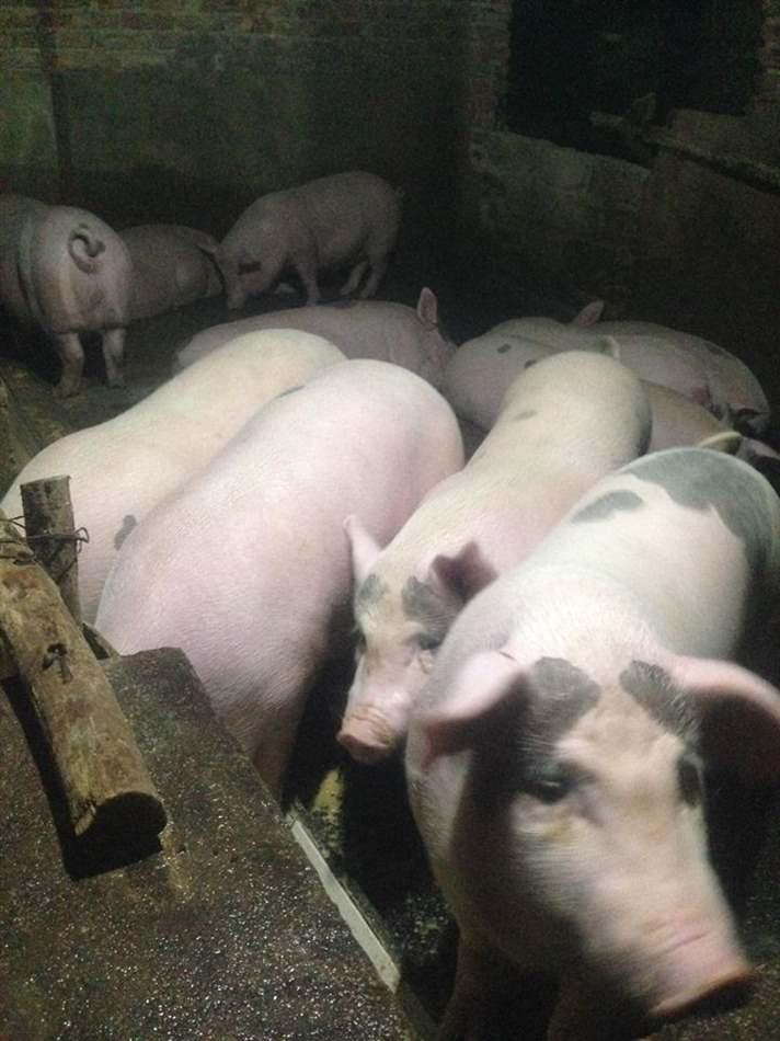 trang trại chăn nuôi lợn
