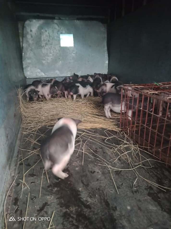 hạ sốt cho lợn