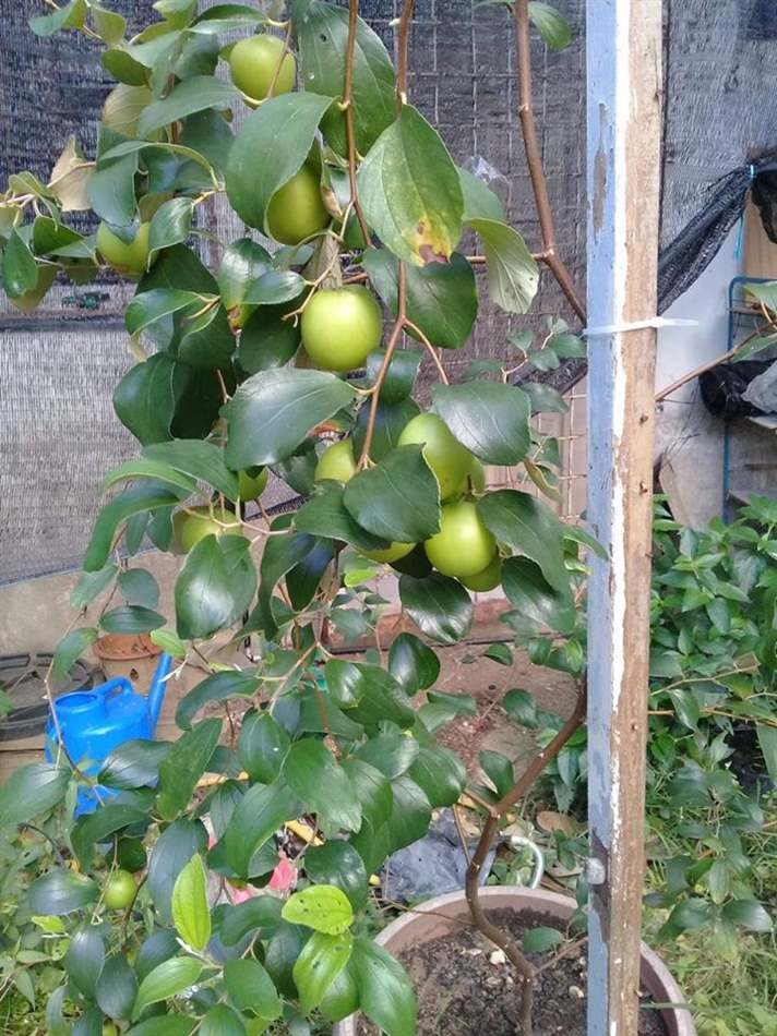 cây táo bị bệnh do nấm thán thư gây hại