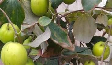 táo bị bệnh thán thư do nấm gây ra.